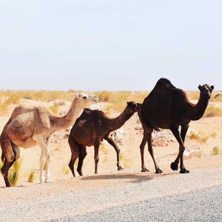 Sahara désert ksar Ghilan Réservation pas cher Tunisie Réservation hôtel pas cher Tunisie Réservation maison d'hôte Tunisie Réservation pas cher maison d'hôte Réservations devis hôtel sud Tunisie Sahara Maison d'hôte sud Tunisie Hôtel sud Tunisie Sahara Tunisie Tozeur douz Djerba tatwine Sousse Hammamet Tunis e Tunisie Pendant la traversée de la région, vous pourrez continuer d'admirer le désert et au hasard sur la route, vous découvrirez troupeaux de dromadaires en liberté et petites fleurs sauvages. Même dans un milieu aussi hostile que le désert, la vie s'accroche, se développe et vous émerveille